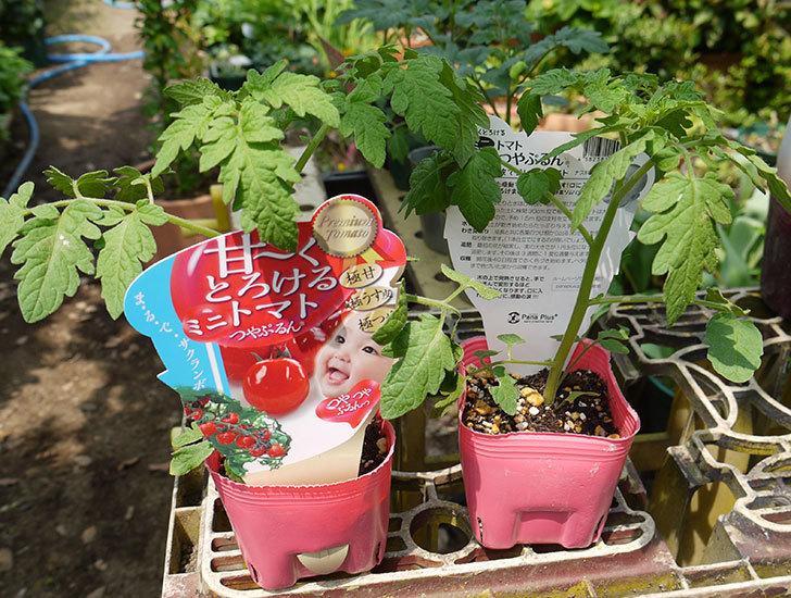 ミニトマトの苗4種類8本をホームズで買って来た。2016年-10.jpg