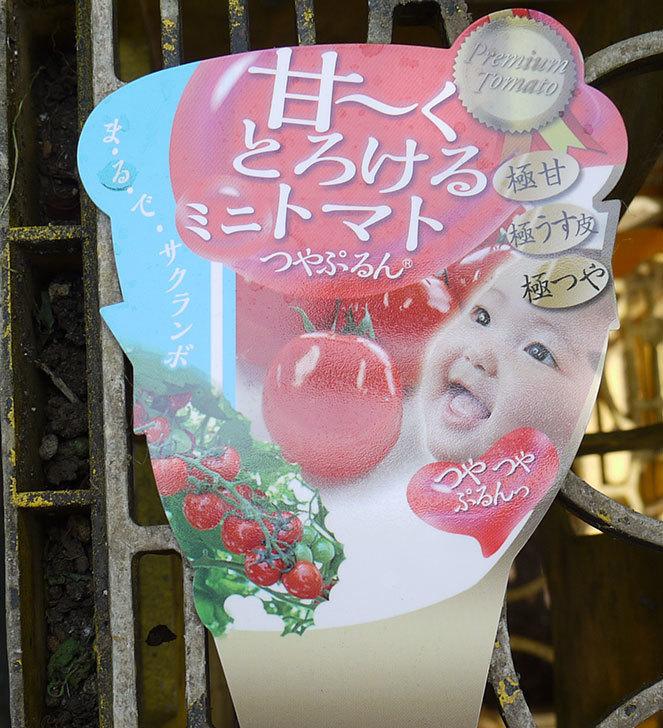 ミニトマトの苗4種類8本をホームズで買って来た。2016年-11.jpg