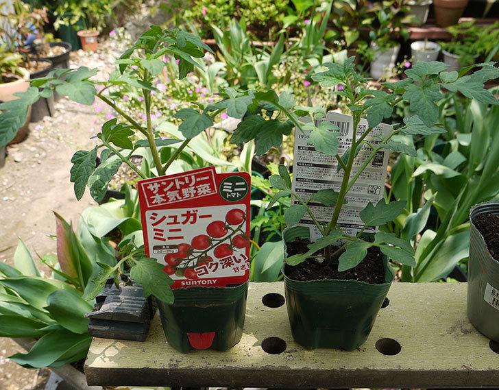 ミニトマトの苗4種類8本をホームズで買って来た。2016年-2.jpg