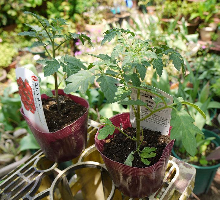 ミニトマトの苗4種類8本をホームズで買って来た。2016年-7.jpg