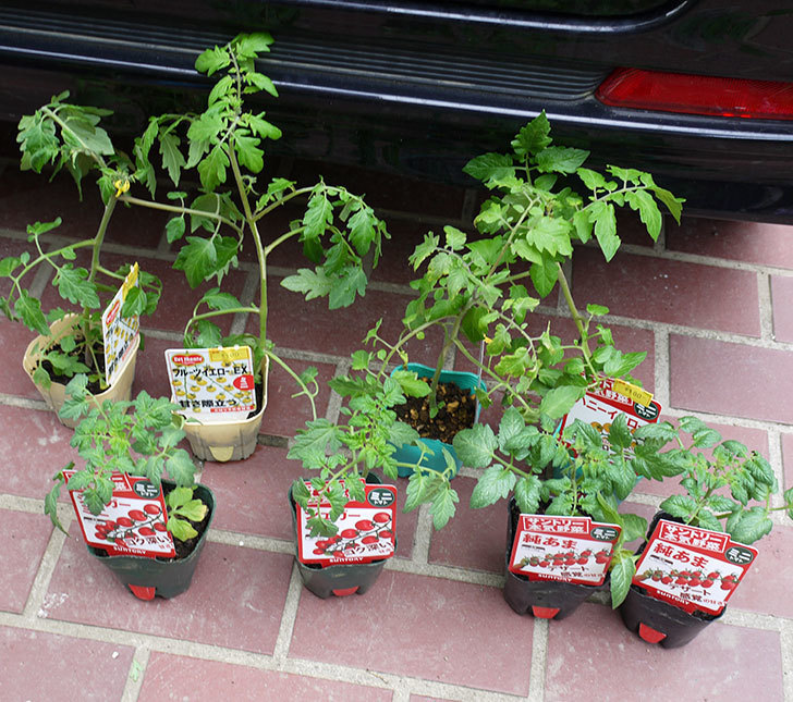 ミニトマトの苗4種類をホームズで買って来た。2017年-1.jpg