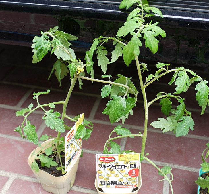 ミニトマトの苗4種類をホームズで買って来た。2017年-10.jpg