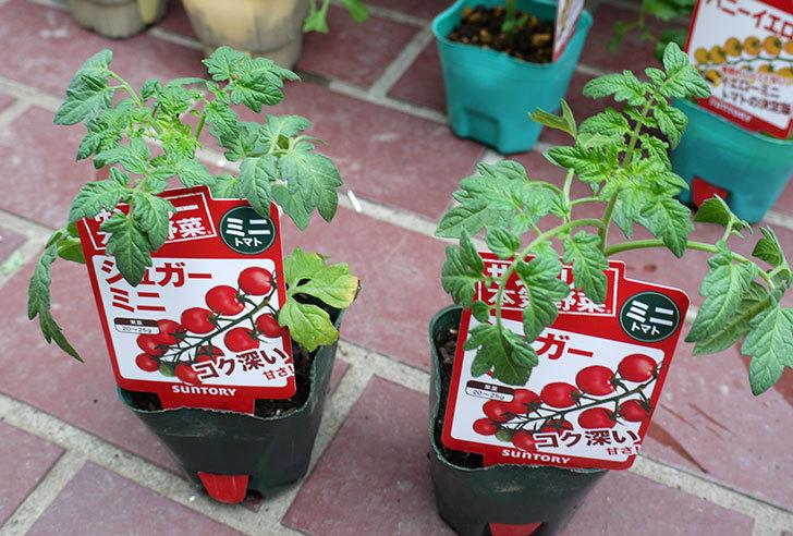 ミニトマトの苗4種類をホームズで買って来た。2017年-2.jpg