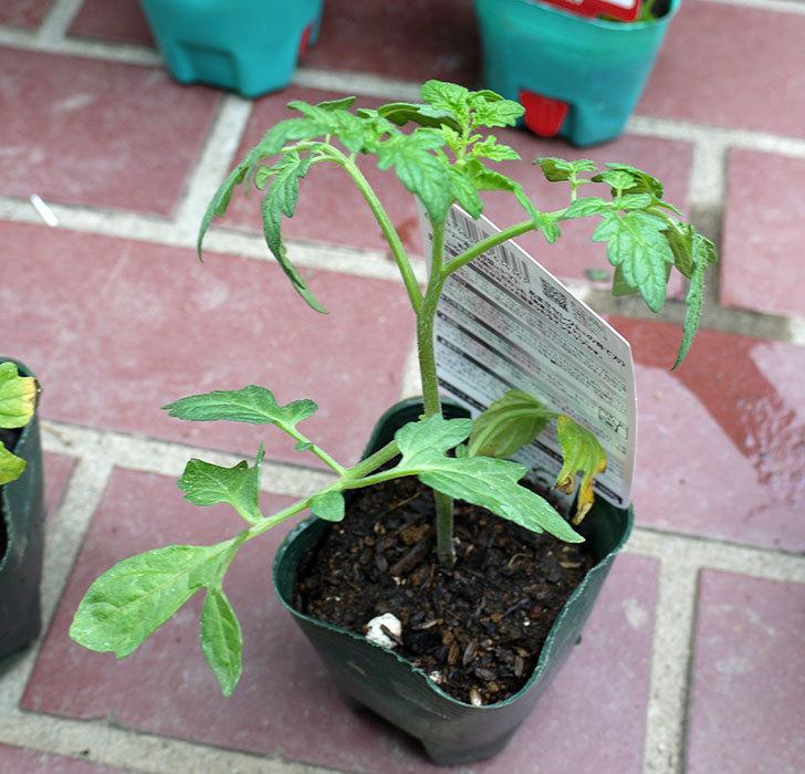 ミニトマトの苗4種類をホームズで買って来た。2017年-3.jpg