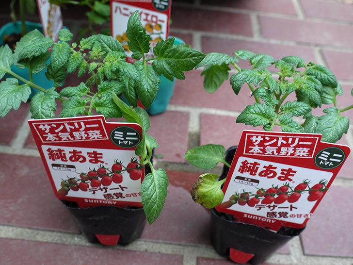 ミニトマトの苗4種類をホームズで買って来た。2017年-5.jpg