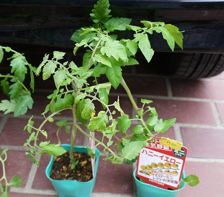 ミニトマトの苗4種類をホームズで買って来た。2017年-8.jpg