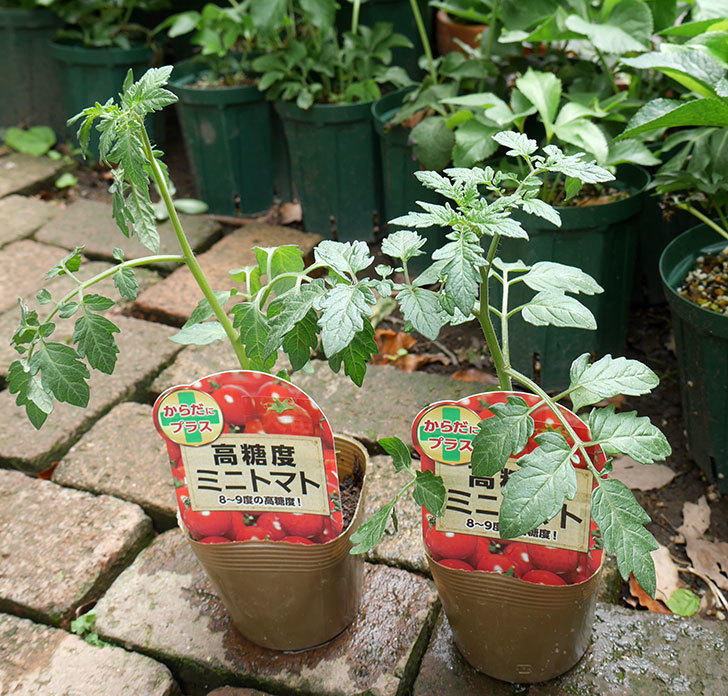 ミニトマトの苗4種類をホームズで買って来た。2018年-11.jpg