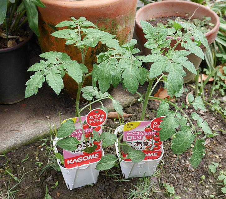 ミニトマトの苗4種類をホームズで買って来た。2018年-2.jpg