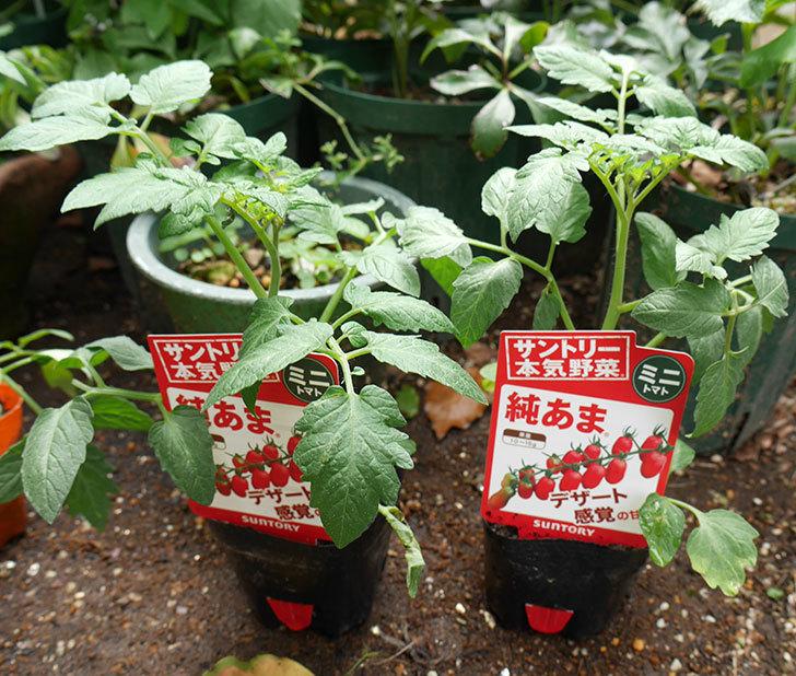 ミニトマトの苗4種類をホームズで買って来た。2018年-5.jpg