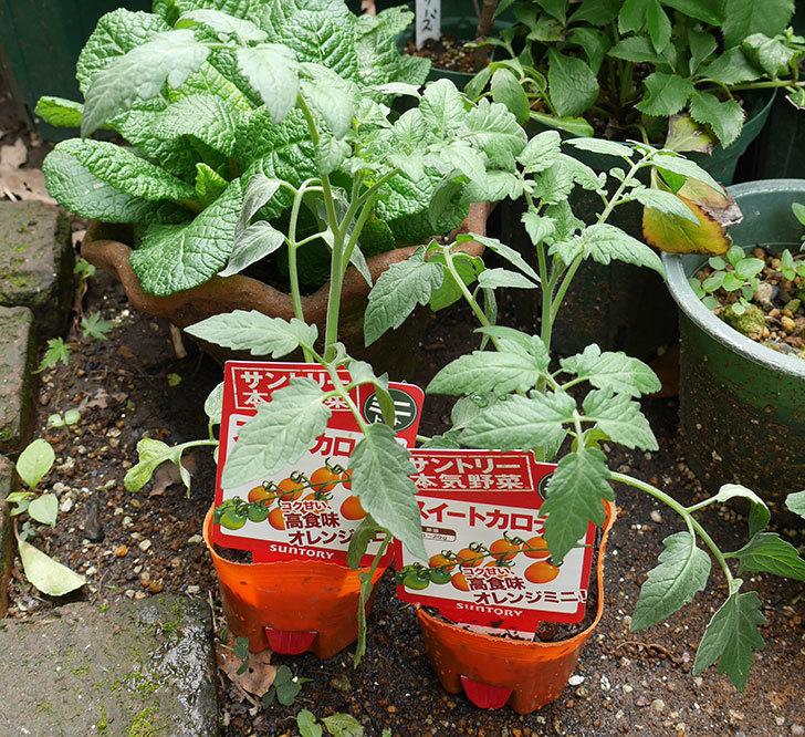 ミニトマトの苗4種類をホームズで買って来た。2018年-8.jpg