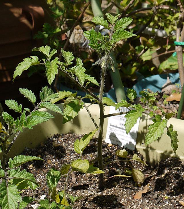 ミニトマトの苗をプランターに植えた3.jpg
