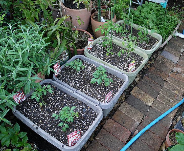ミニトマトの苗をプランターに植えた。2017年-1.jpg