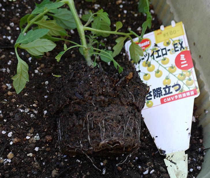 ミニトマトの苗をプランターに植えた。2017年-10.jpg