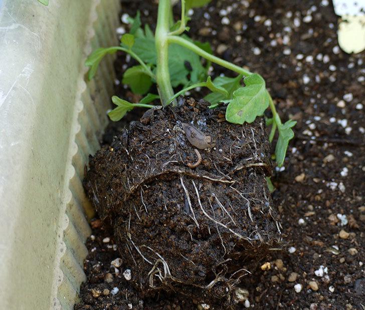 ミニトマトの苗をプランターに植えた。2017年-11.jpg