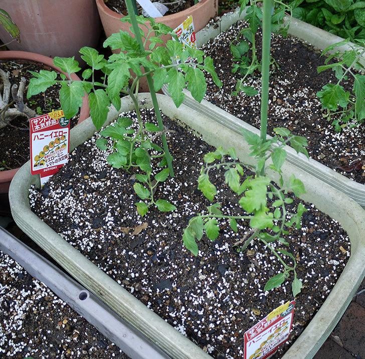 ミニトマトの苗をプランターに植えた。2017年-14.jpg