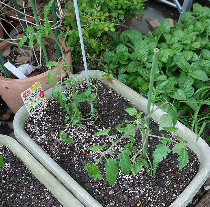 ミニトマトの苗をプランターに植えた。2017年-15.jpg