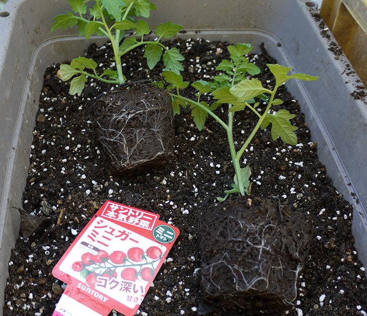 ミニトマトの苗をプランターに植えた。2017年-2.jpg