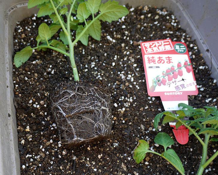 ミニトマトの苗をプランターに植えた。2017年-4.jpg