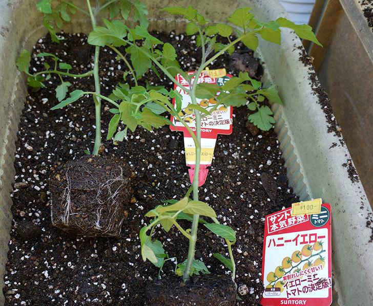 ミニトマトの苗をプランターに植えた。2017年-7.jpg