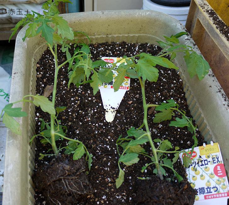 ミニトマトの苗をプランターに植えた。2017年-9.jpg