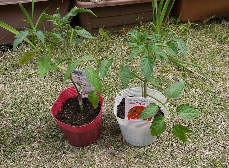 ミニトマトの苗をホームズで買って来た1.jpg