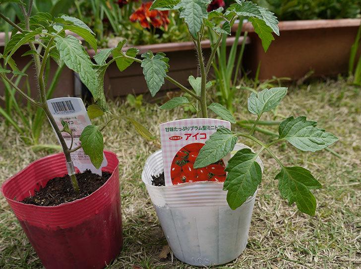 ミニトマトの苗をホームズで買って来た2.jpg