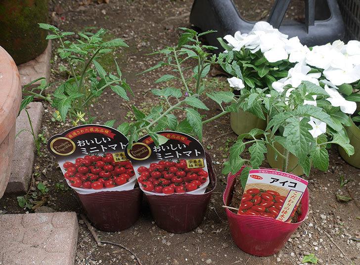 ミニトマトの苗アイコ1株とおいしいミニトマト2株をホームズで買って来た。2020年-1.jpg