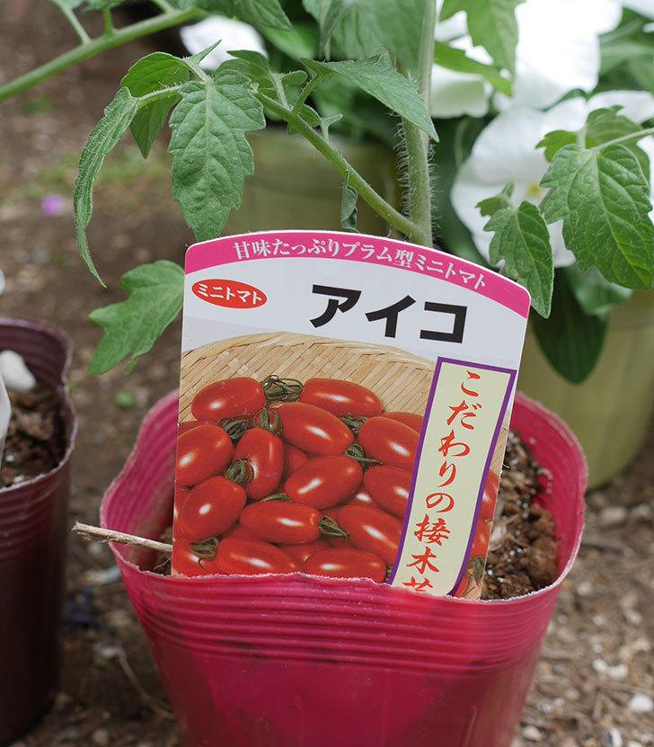 ミニトマトの苗アイコ1株とおいしいミニトマト2株をホームズで買って来た。2020年-2.jpg