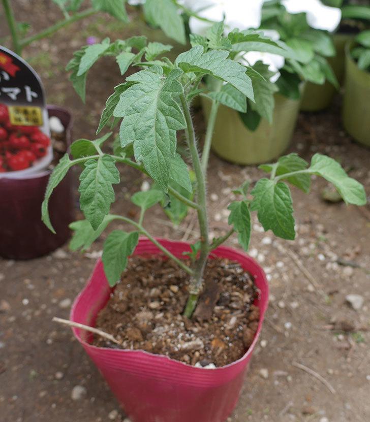 ミニトマトの苗アイコ1株とおいしいミニトマト2株をホームズで買って来た。2020年-3.jpg