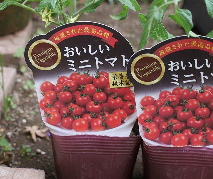 ミニトマトの苗アイコ1株とおいしいミニトマト2株をホームズで買って来た。2020年-8.jpg