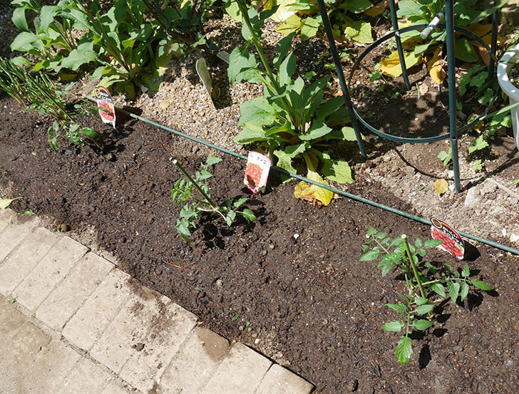 ミニトマトの苗アイコ1株とおいしいミニトマト2株を地植えした。2020年-1.jpg