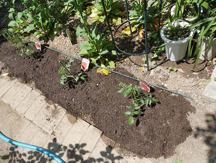 ミニトマトの苗アイコ1株とおいしいミニトマト2株を地植えした。2020年-11.jpg
