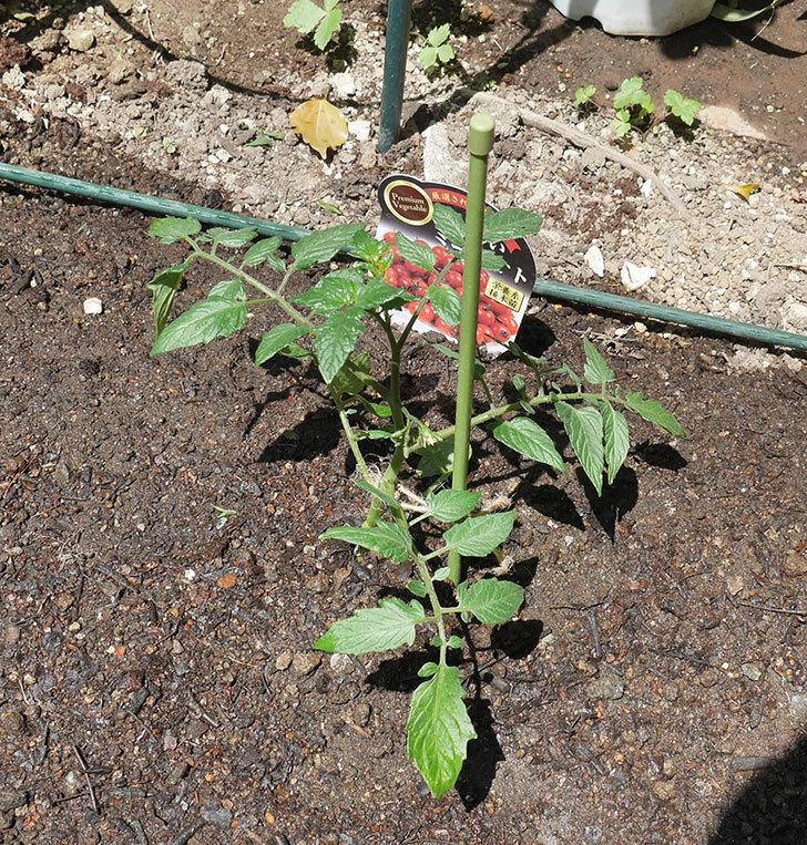 ミニトマトの苗アイコ1株とおいしいミニトマト2株を地植えした。2020年-12.jpg