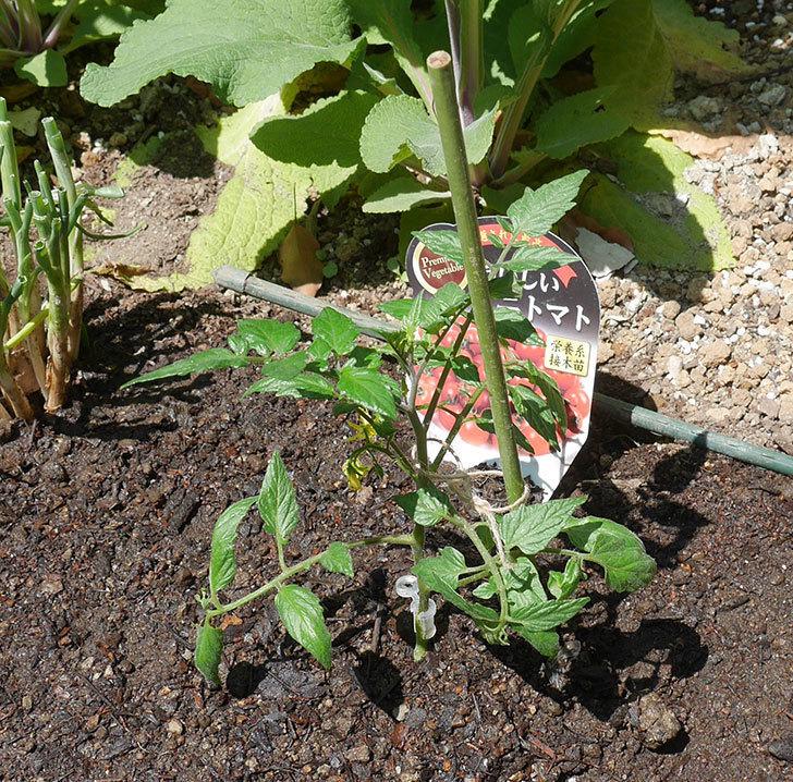 ミニトマトの苗アイコ1株とおいしいミニトマト2株を地植えした。2020年-14.jpg