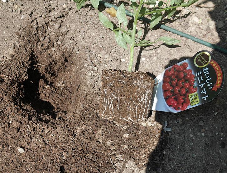 ミニトマトの苗アイコ1株とおいしいミニトマト2株を地植えした。2020年-3.jpg
