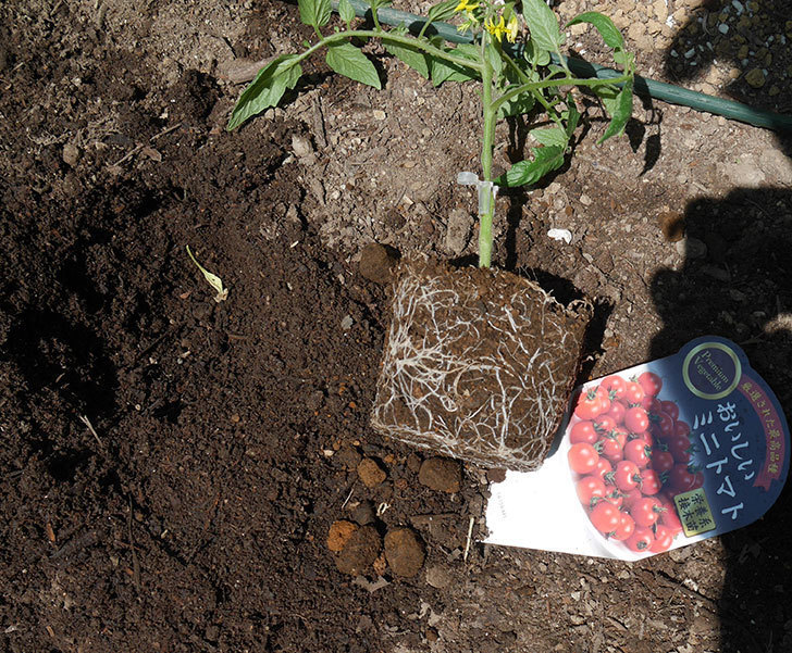 ミニトマトの苗アイコ1株とおいしいミニトマト2株を地植えした。2020年-5.jpg