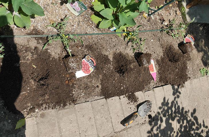ミニトマトの苗アイコ1株とおいしいミニトマト2株を地植えした。2020年-6.jpg