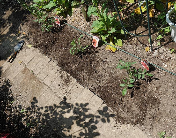 ミニトマトの苗アイコ1株とおいしいミニトマト2株を地植えした。2020年-7.jpg