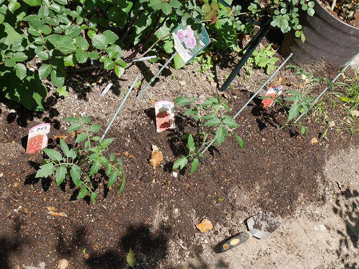 ミニトマトの苗アイコ3株をホームズで買って来た。2021年-015.jpg