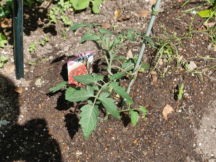 ミニトマトの苗アイコ3株をホームズで買って来た。2021年-016.jpg