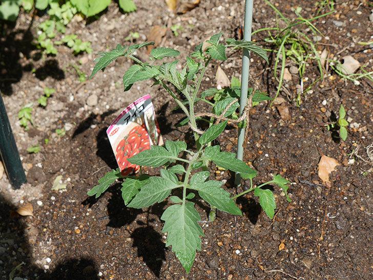 ミニトマトの苗アイコ3株をホームズで買って来た。2021年-017.jpg