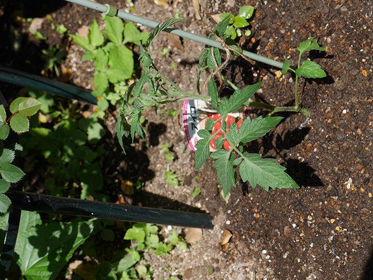 ミニトマトの苗アイコ3株をホームズで買って来た。2021年-018.jpg