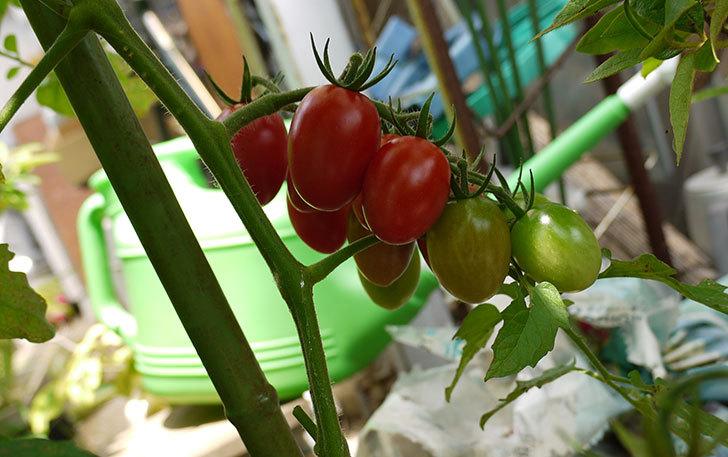 ミニトマトを収穫した。2014-1.jpg