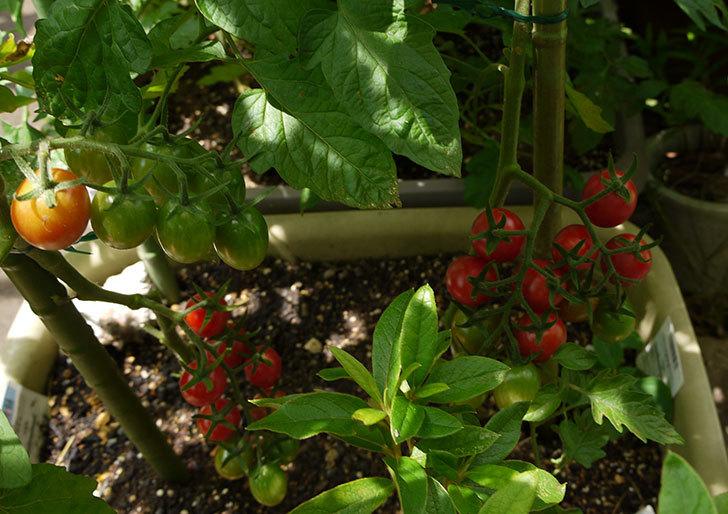 ミニトマトを収穫した。2014-3.jpg