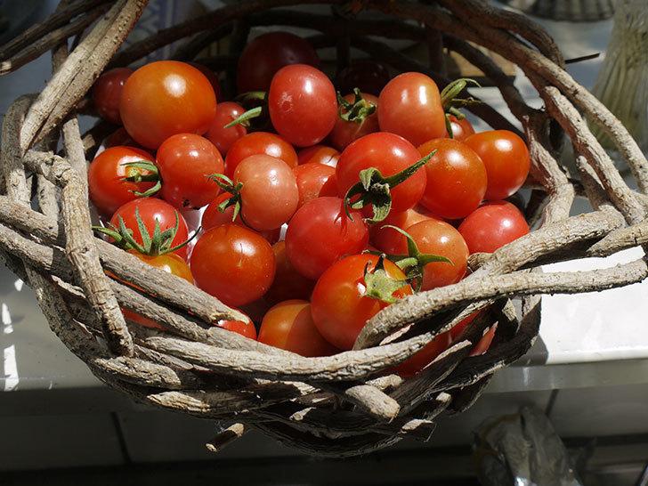 ミニトマトを収穫した。2016年-1.jpg