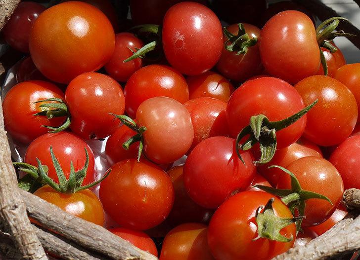 ミニトマトを収穫した。2016年-2.jpg