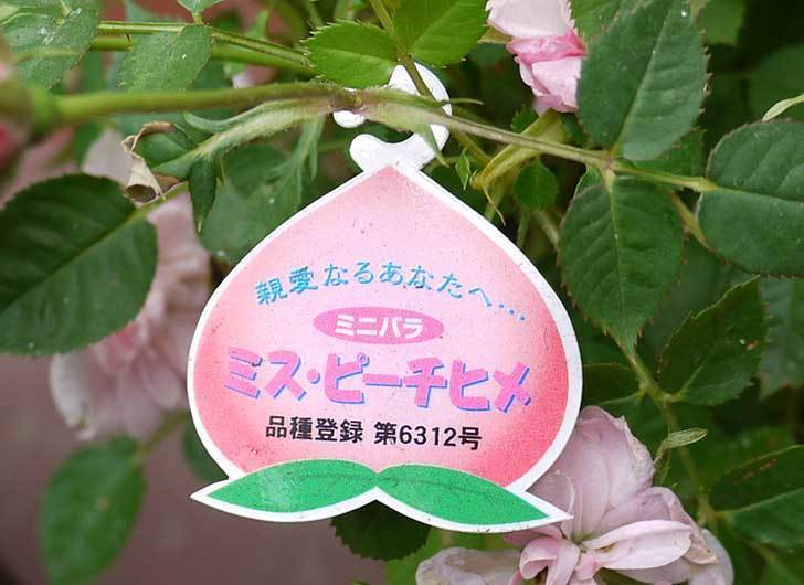 ミニバラ-ミスピーチ姫がホームズで200円だったので3個買って来た5.jpg
