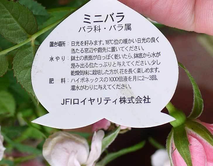 ミニバラ-ミスピーチ姫がホームズで200円だったので3個買って来た6.jpg