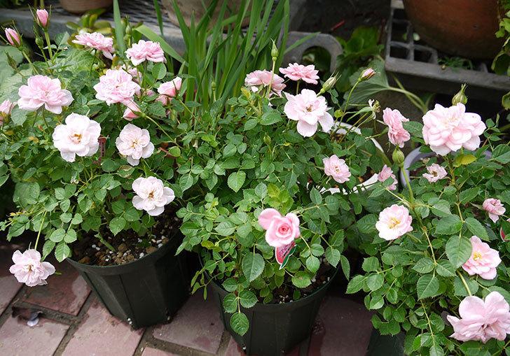 ミニバラ-ミスピーチ姫をスリット鉢に植えた1.jpg