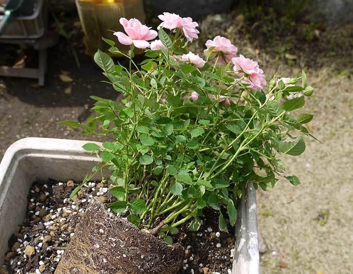 ミニバラ-ミスピーチ姫をスリット鉢に植えた2.jpg